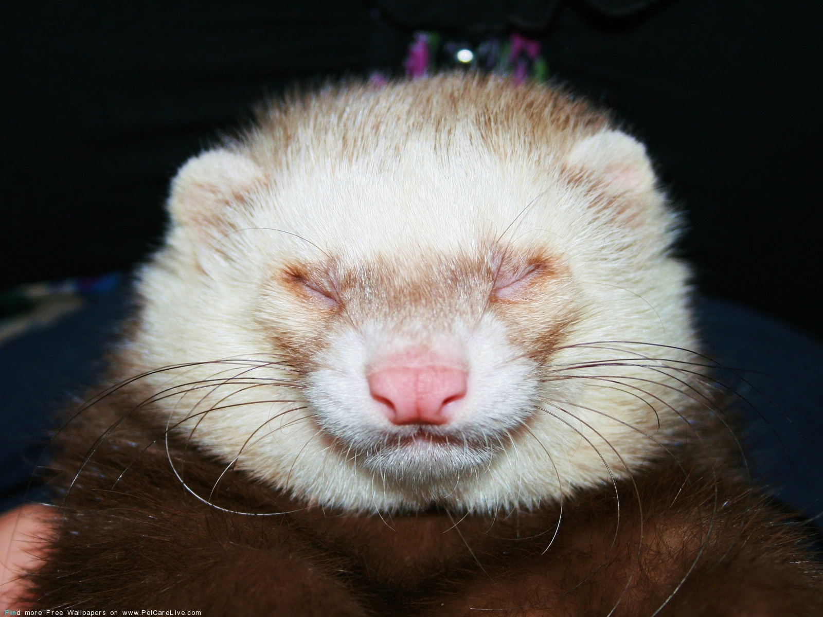 ferret face wallpaper background - photo #17