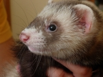The Free Ferret desktop wallpaper pictures for PC & windows