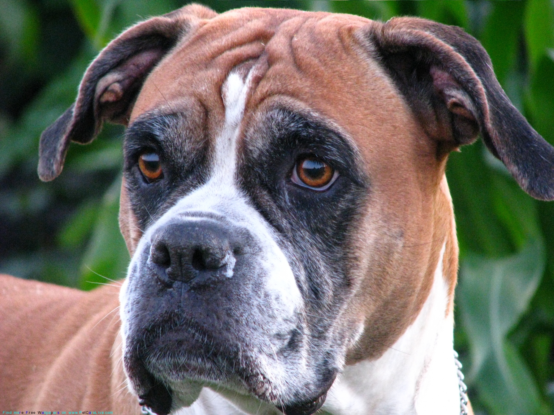 ... Boxer Cross besides Boxer Dog Breed likewise Perros Bulldog Americano