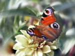 Free butterfly desktop wallpaper pictures for PC & Mac