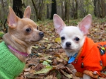 The Free Chihuahua dog Desktop wallpaper pictures online for PC & windows
