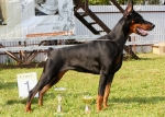 The Free Doberman Dog desktop wallpaper pictures online for PC & windows