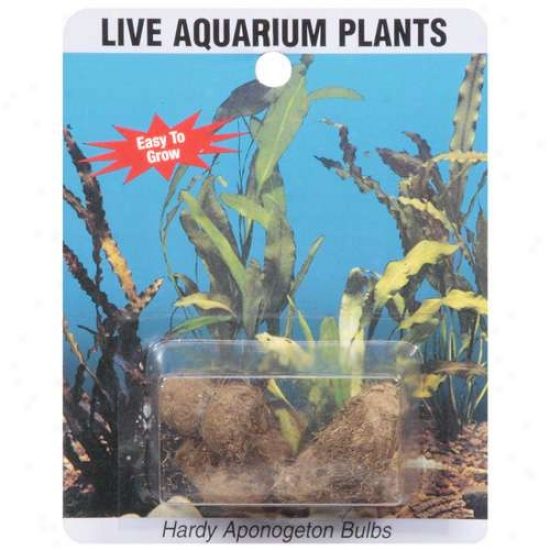 Sea-life Plants Live Aponogeton Aquarium Bulbs, 1ct
