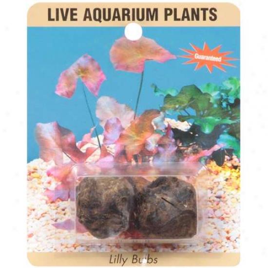 Sea-life Plants Live Lily Aquarium Bulbs, 1ct