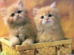 The Free Little cute Kitty desktop wallpaper pictures for PC & windows