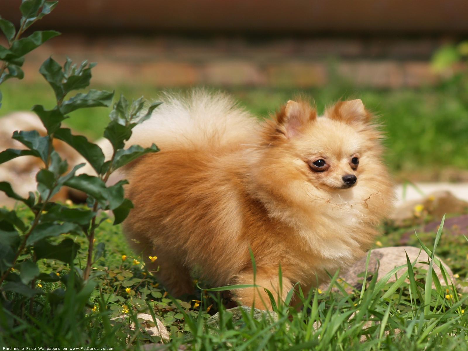 The Free Pomeranian Dog Desktop Wallpaper Pictures For Pc Mac 12