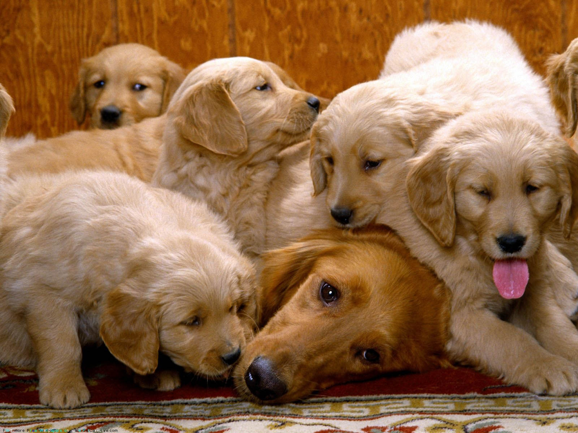 The Free Little Cute Dog S Puppies Desktop Wallpaper Pictures For Pc Mac 119